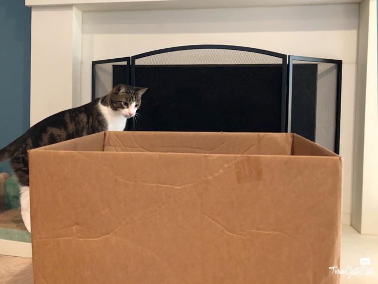 tabby cat investigates box
