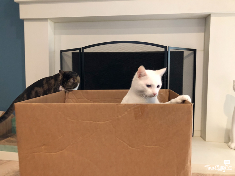 tabby cat and white cat with box