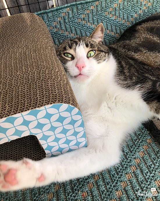 goofy tabby cat in catio