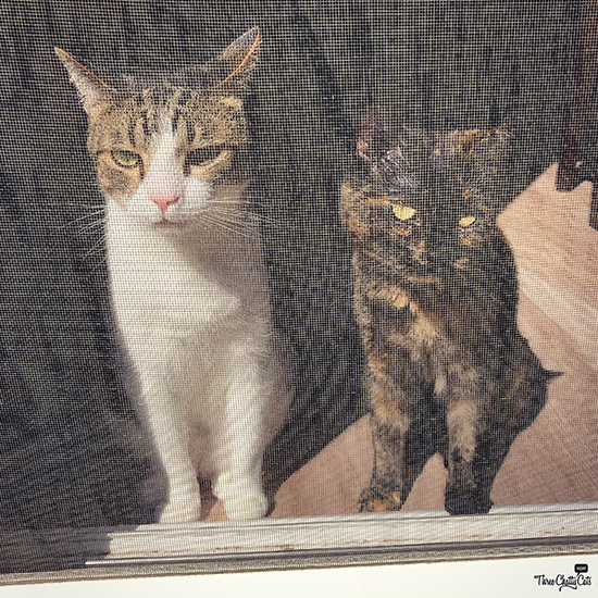 tabby cat and tortie cat want outside
