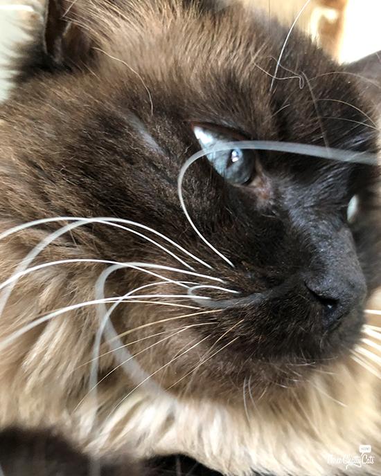 Siaemese cat's stunning whiskers #whiskerwednesday