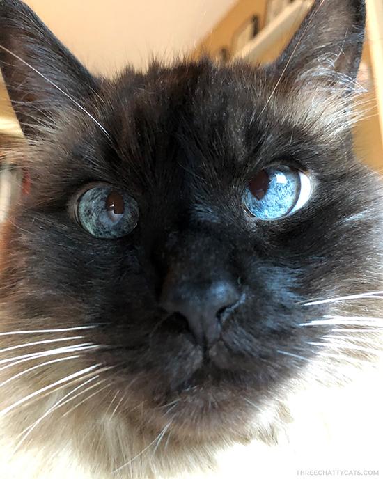 close up of Siamese cat