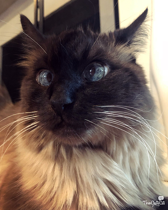 Siamese cat with crossed blue eyes