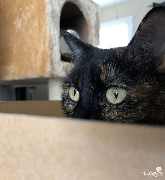 tortie cat peeking from box