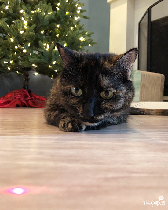 tortie cat watches the red dot