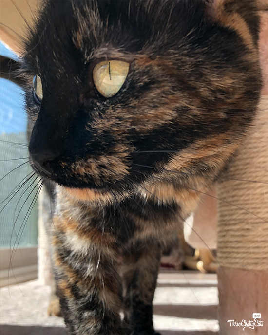 beautiful tortie cat