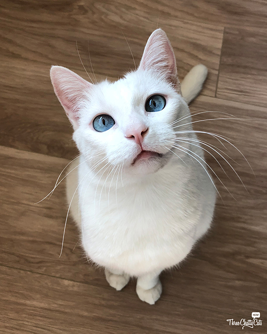 goofy white cat with crossed blue eyes