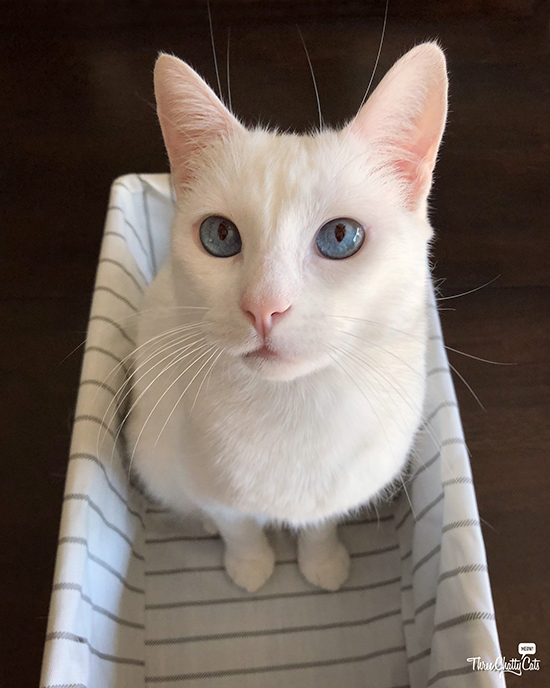 cute white cat in basket