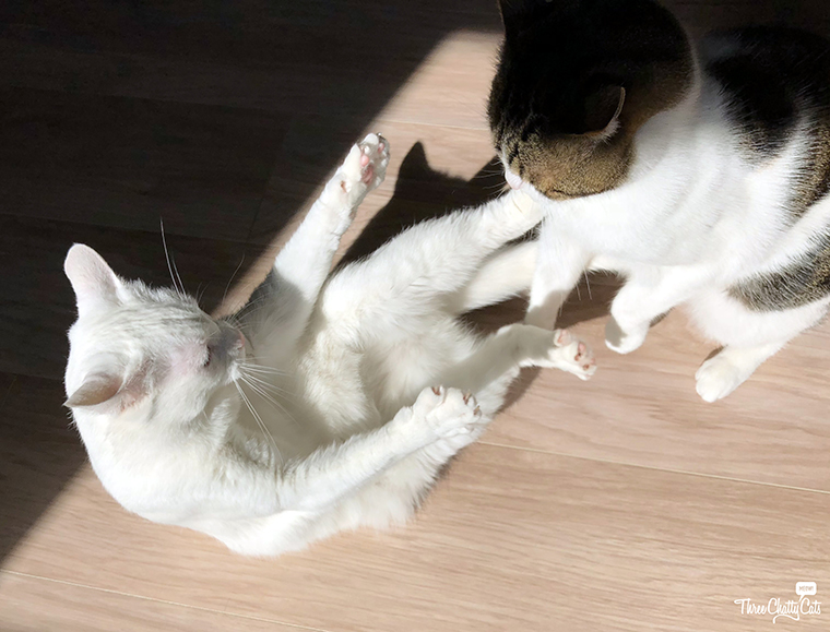 white cat and tabby cat wrestling