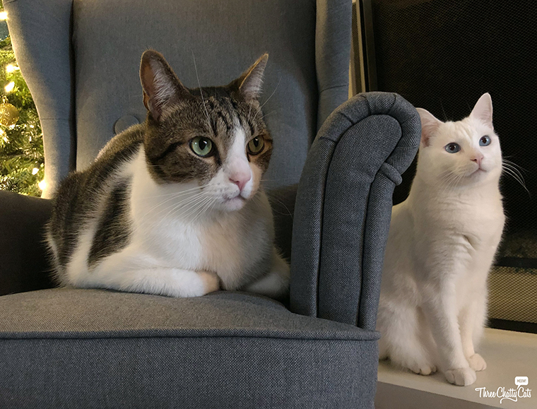 tabby cat in arm chair and white cat