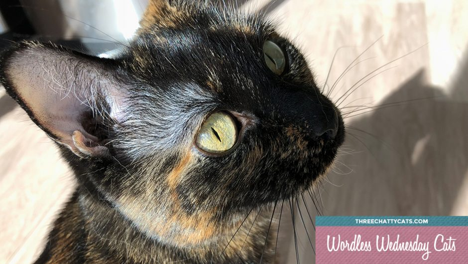 #wordlesswednesday beautiful tortie cat