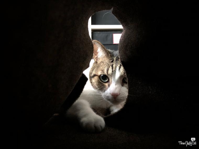tabby cat plays in Ripple Rug