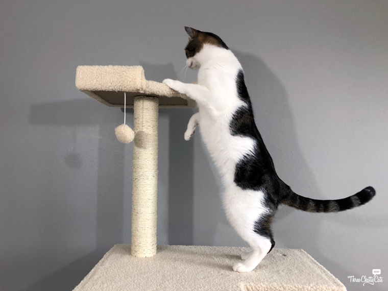 tabby cat checks out cat tree