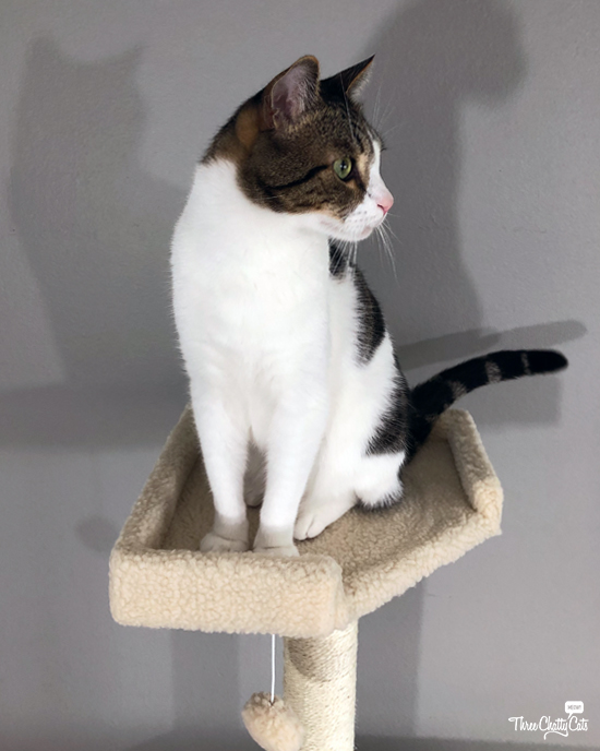 tabby cat sits in cat tree