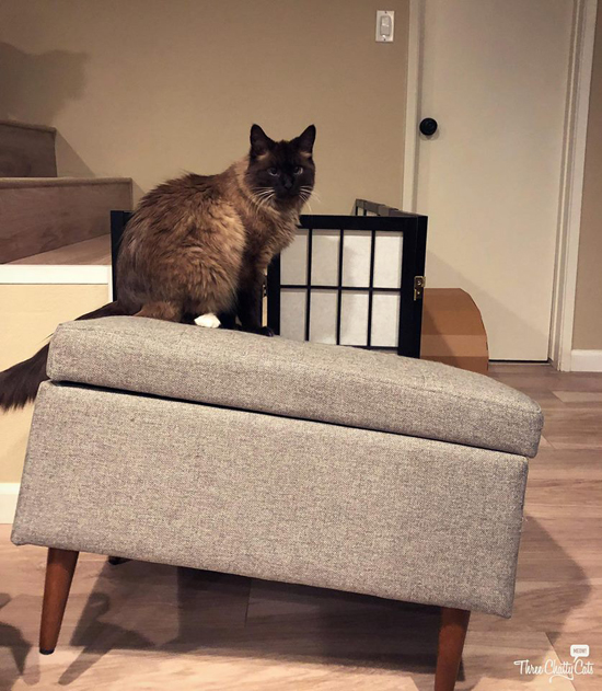 Siamese cat on broken furniture