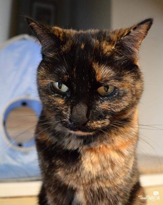grumpy tortie cat
