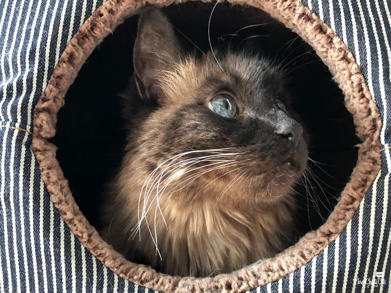 Siamese cat in 2-in-1 Cat Cube and Bed
