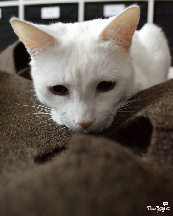 white cat plays in Ripple Rug