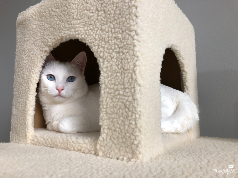 white cat tests out cat tree