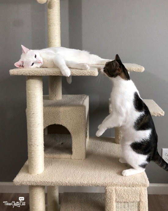 white cat and tabby cat in cat tree