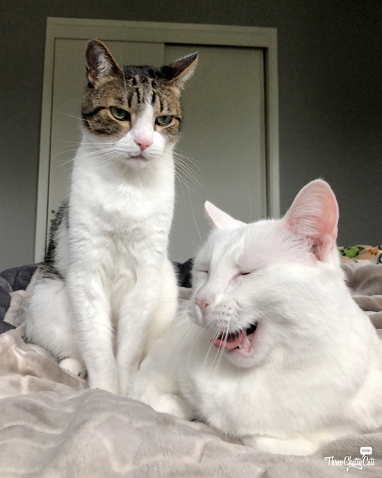 white cat tells joke to unamused tabby cat
