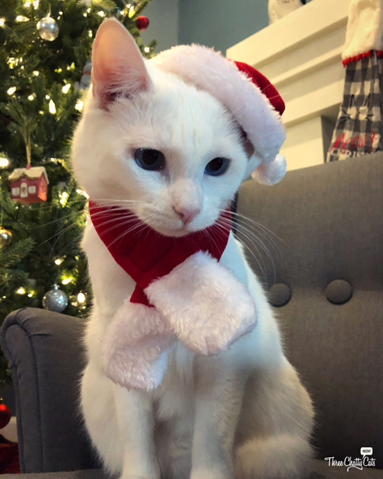 cute white cat in Christmas outfit