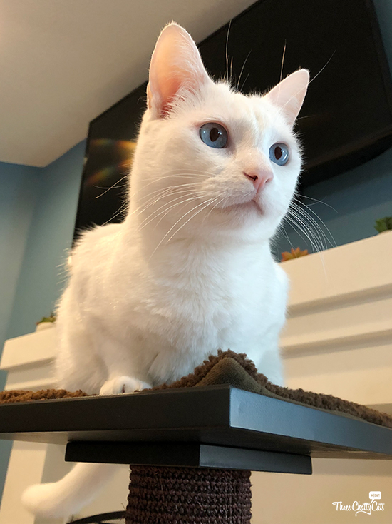 white cat sitting on scratching post from Art of Paws