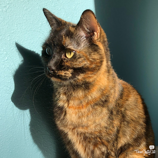 beautiful #tortiecat