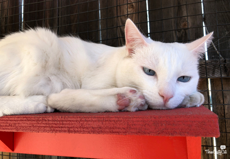 white cat rests in catio