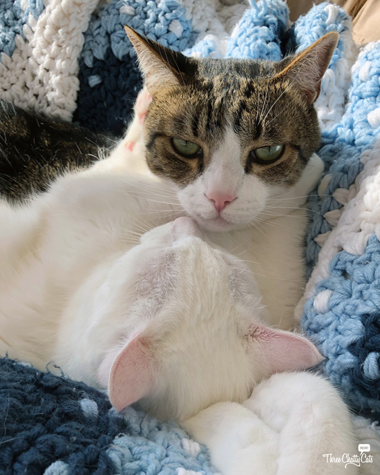 grumpy tabby cat with white cat