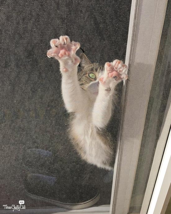 tabby cat wants outside