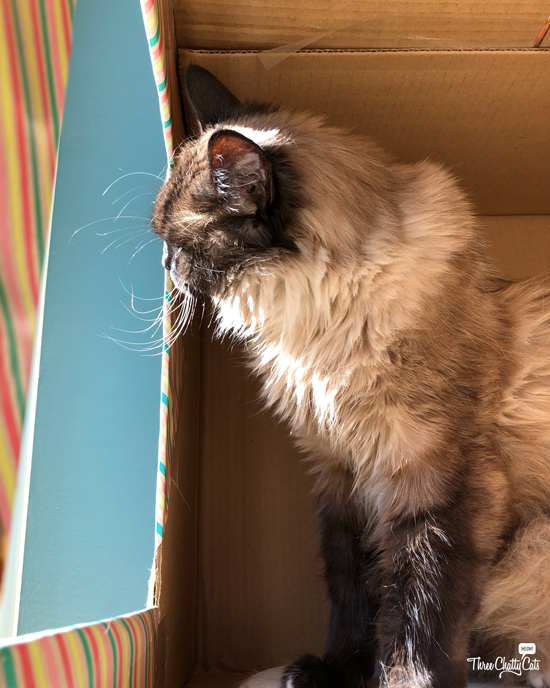 Siamese cat in box looking out window