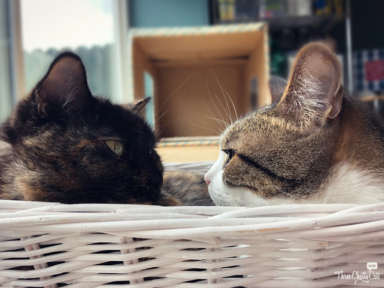 tortie cat and tabby cat in basket