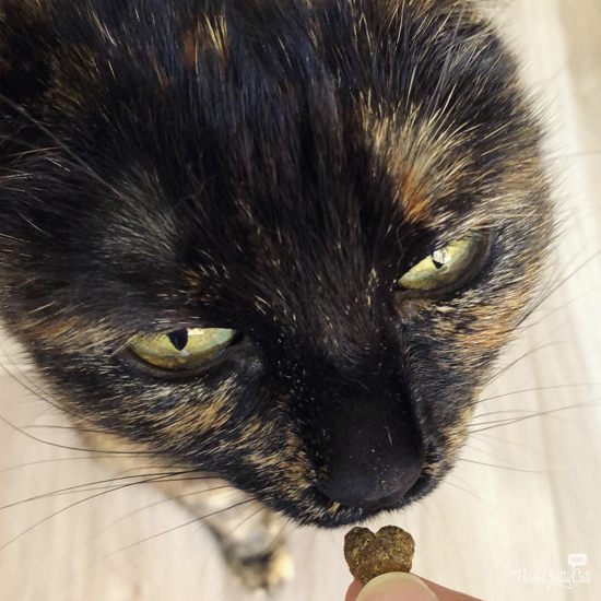 tortie cat inspects cat treat