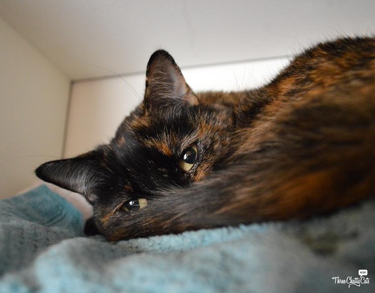 snuggly tortie cat