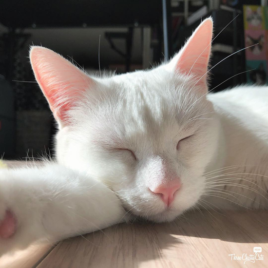 beautiful white cat sleeping in sunny spot