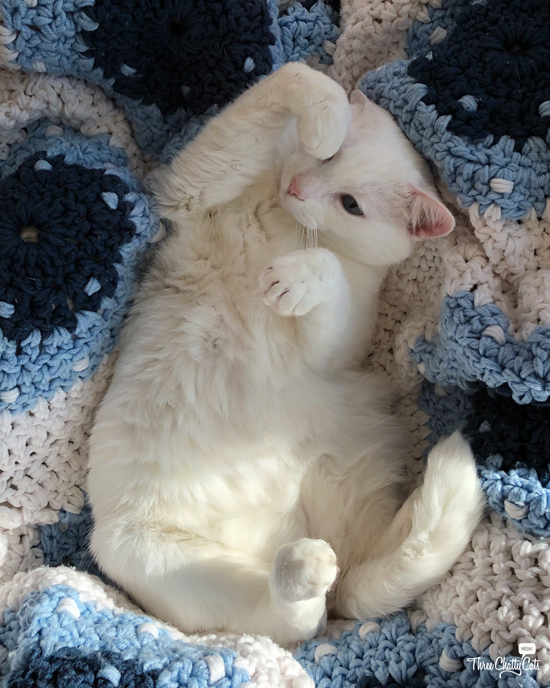 adorable white cat distracted by her own cutenes