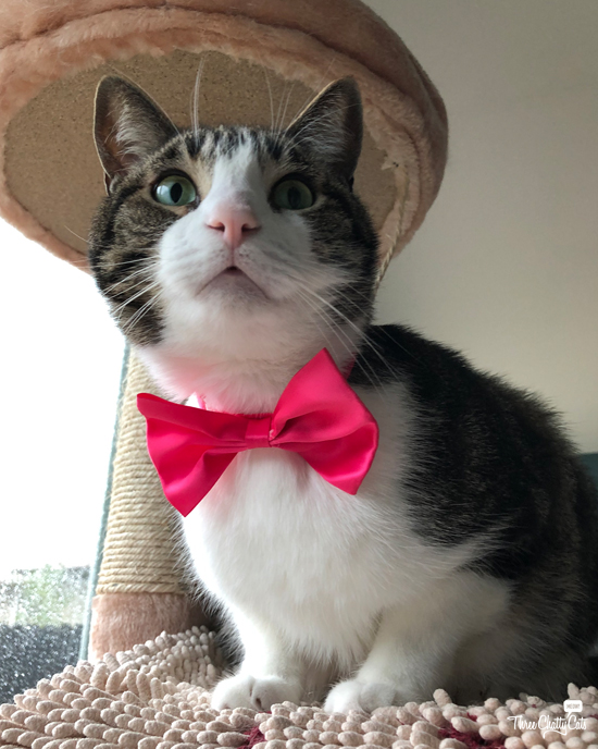 tabby cat in valentine's day bow tie