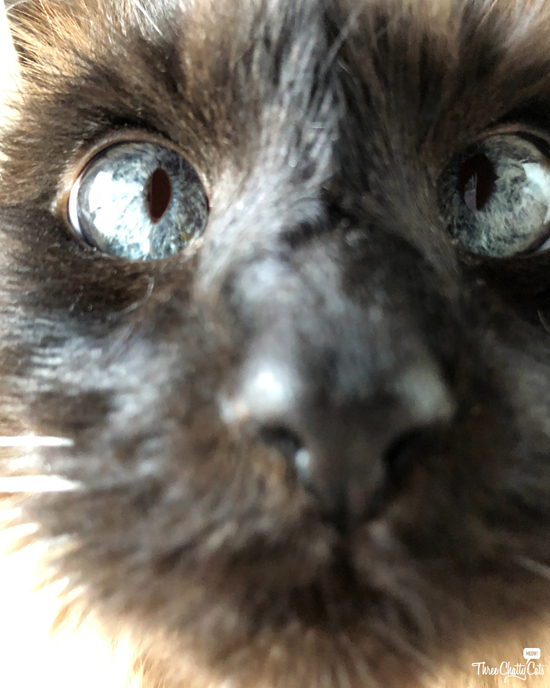 extreme close-up of siamese cat