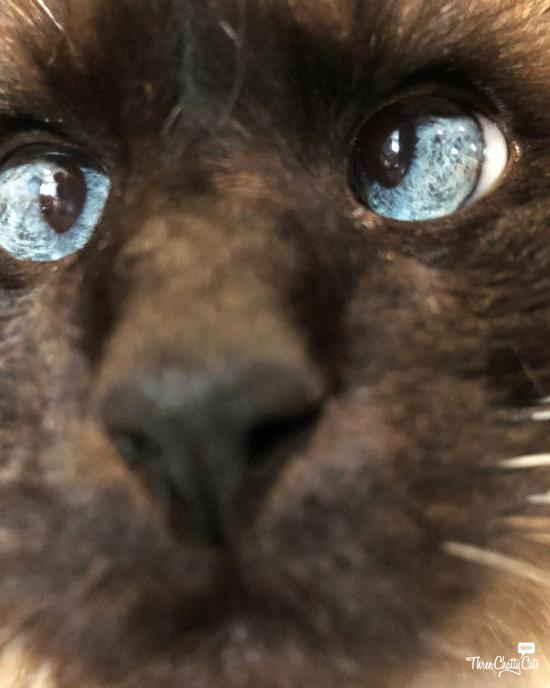 #blooper siamese cat photo