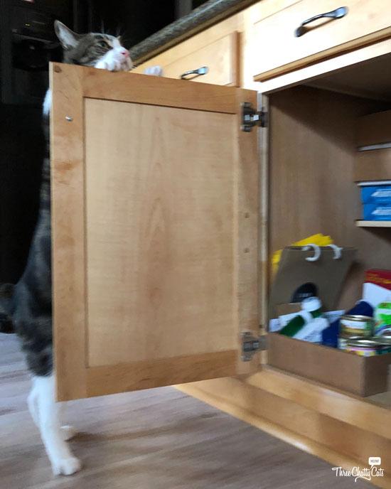 goofy tabby cat opening cupboard