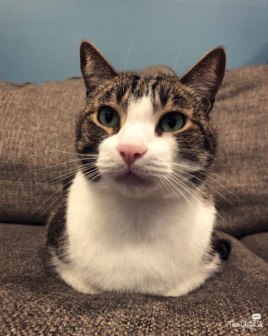 loafing tabby cat