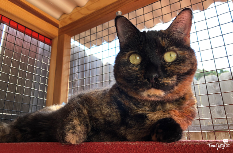 beautiful tortie cat in catio