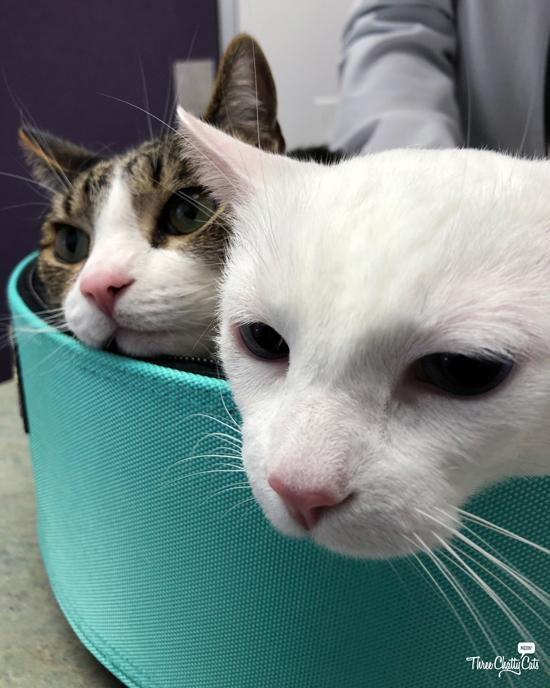 white cat and tabby cat at vet's office