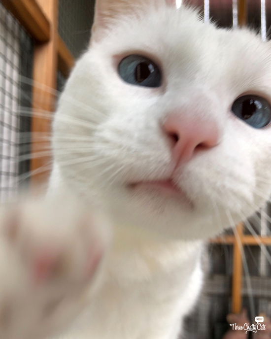 white cat takes selfie
