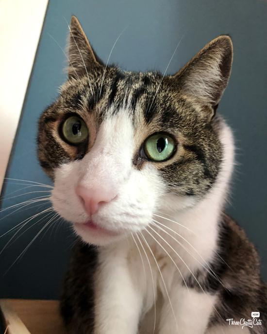 tabby cat says sorry