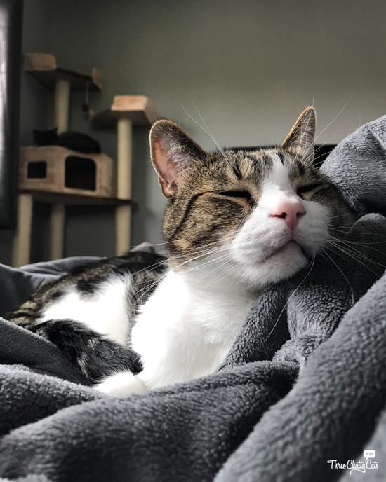 cute sleeping tabby cat