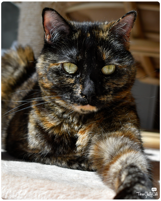 beautiful tortie cat