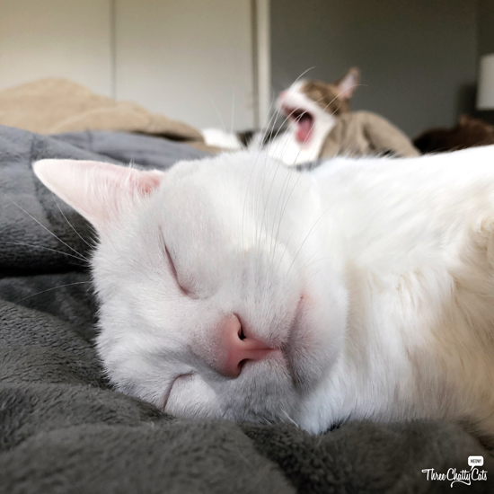 white cat sleeping while tabby cat sings
