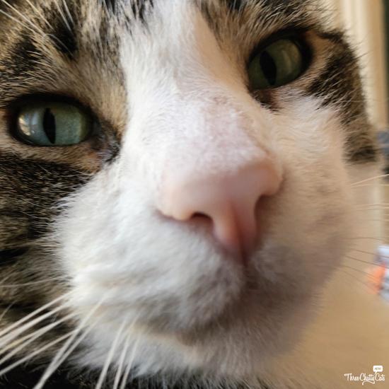 goofy tabby cat #blooperphoto